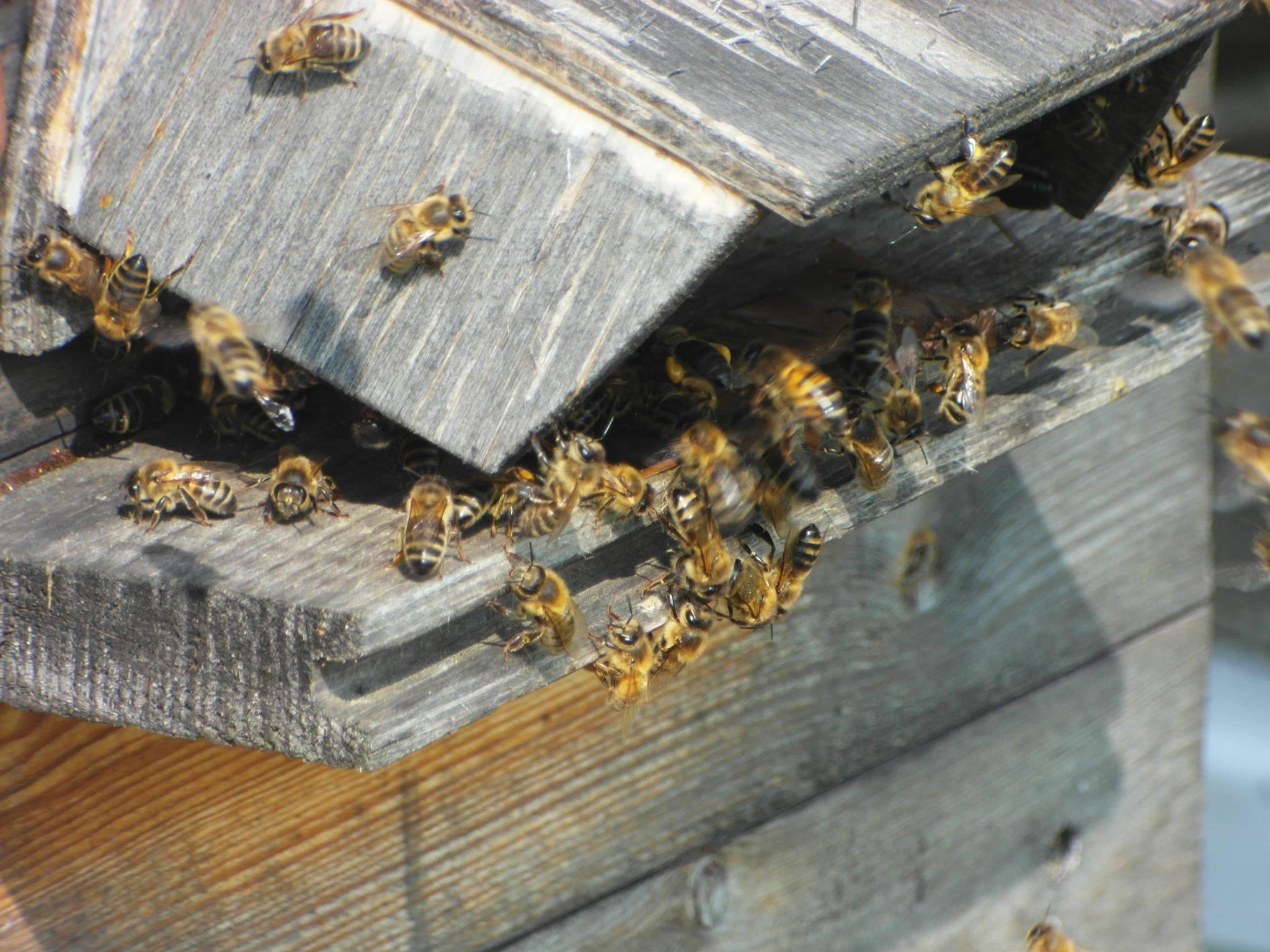 Cursus Jacob Hein Faber Over en voor de bijen start in januari 2017